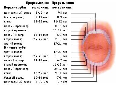 сколько зубов у человека, схема