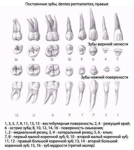 строение зубов нижней челюсти человека