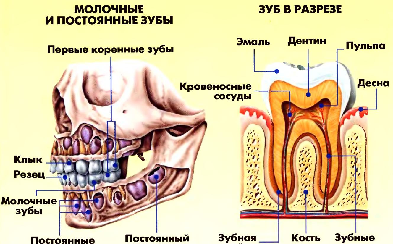 строение зуба анатомия