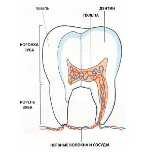 строение молочных зубов